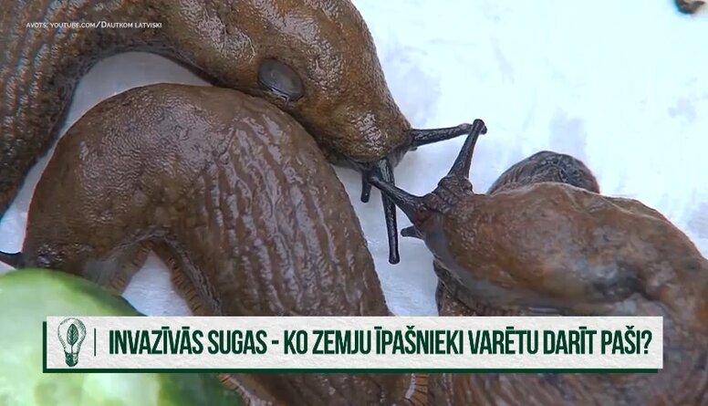 Kuras dzīvnieku sugas Latvijā tiek uzskatītas par invazīvām sugām?