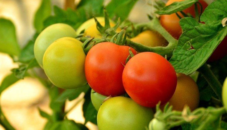 Uzzini, cik vērtīgi ir ziemā siltumnīcās audzētie tomāti un gurķi!