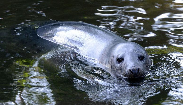 Rīgas Zooloģiskā dārza roņi ceļa jūtīs