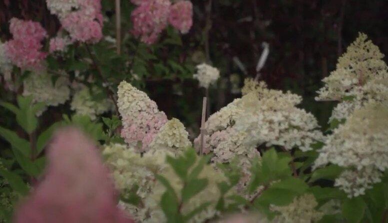 Hortenziju dārzs Jelgavā