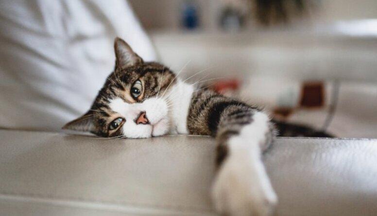 Mīts vai patiesība. Vai kaķi spēj pārnēsāt koronavīrusu?