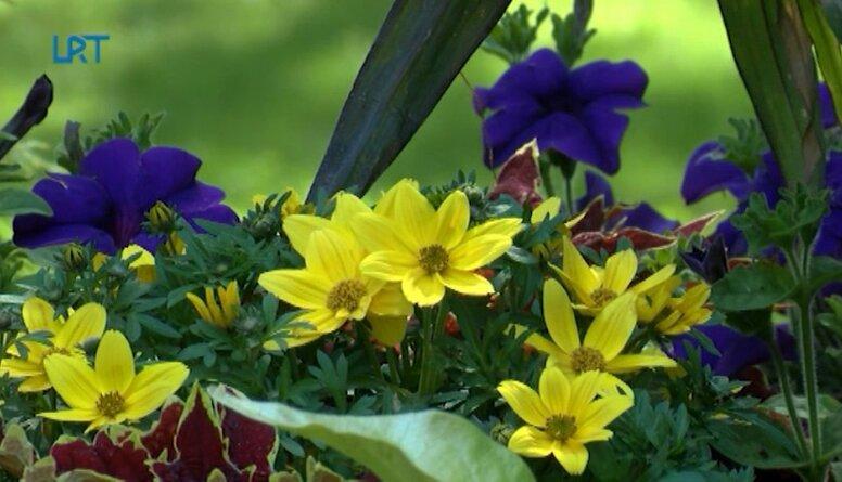 Ludzas pilsētu rotā krāšņi ziedu dekori