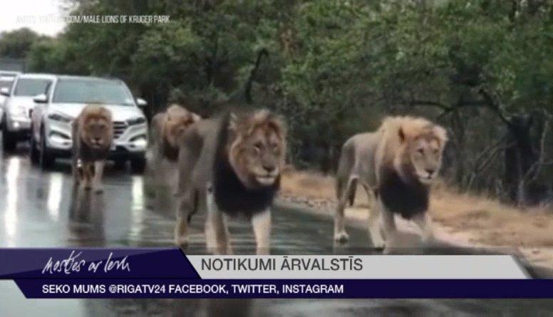 4 lauvu tēviņi paralizē satiksmi Āfrikas nacionālajā parkā