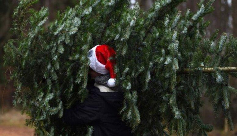 Vai LVM mežos var cirst eglīti Ziemassvētkiem?