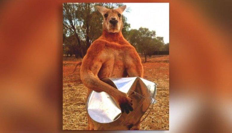 Iespaidīgi: muskuļotais ķengurs Rodžers!
