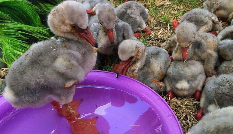 Dienvidāfrikā glābēji uzņēmušies rūpes par 2000 pamestiem flamingo mazuļiem