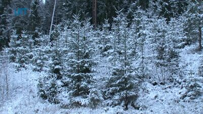Ziemassvētku eglīte no Valsts meža