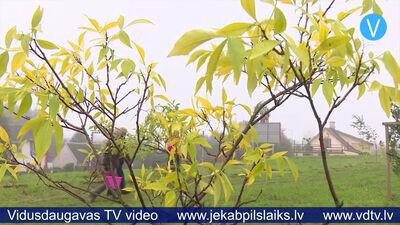 Jēkabpilī stāda kokus