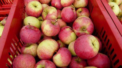 Vai bojātus ābolus var spiest sulā?