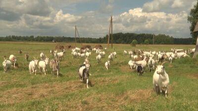 """Satiec kazas un baudi kazu piena sieru saimniecībā """"Dāri"""""""