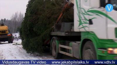 Izvēlēta Jēkabpils pilsētas galvenā Ziemassvētku egle