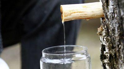 Vienā litrā bērzu sulas - 7 grami cukura. Daudz vai maz?