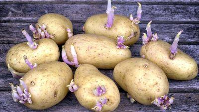 Vai drīkst uzturā lietot kartupeļus, kas sākuši asnot?
