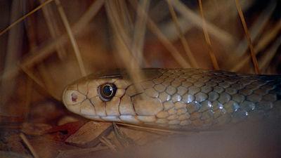 Amizanti: Austrālijas zoo piedāvā nosaukt indīgu čūsku tavas bijušās otrās pusītes vārdā