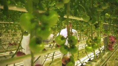 Kā notiek gurķu un tomātu ražošana Getliņos?