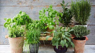 Farmācijas doktore iesaka, kādus garšaugus pavasarī iestādīt dārzā!