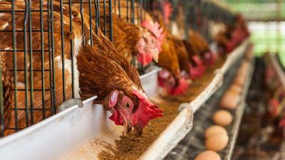 Vai zināji - dzīvnieku barībā atļauts izmantot ģenētiski modificētus augus!