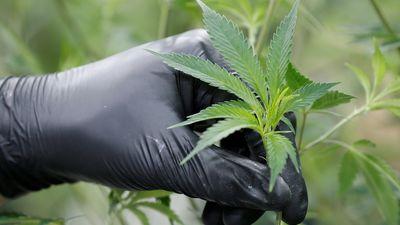 """Bergs: """"Latvija būs pēdējā valsts Eiropā, kas legalizēs marihuānu"""""""