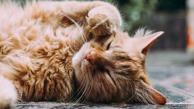 Kā saprast, vai kaķis ir inficējies ar koronavīrusu?