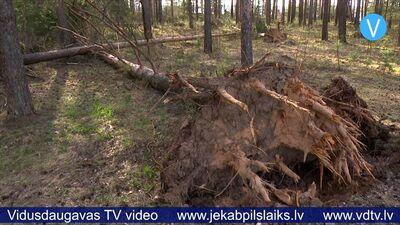 Vēja nogāztie Jēkabpils Mežaparka koki