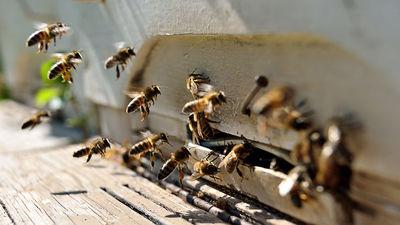 Bišu stropu gaiss palīdz apturēt alerģiskās iesnas un pat bronhiālo astmu!