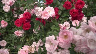 """Skaistas rozes stādaudzētavā """"Liepas"""""""