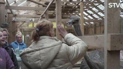 Ērkšķu dāmu  dažādās sajūtas apmeklējot strausu fermu