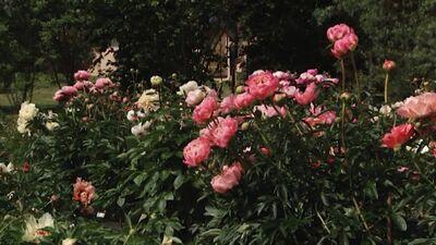 """Peoniju dārzs """"Ziedoņi"""""""